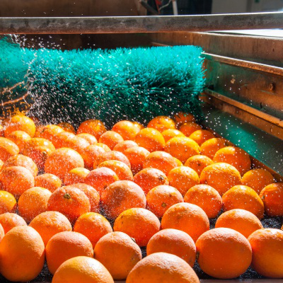 Washing and cleaning citrus fruits on modern production line